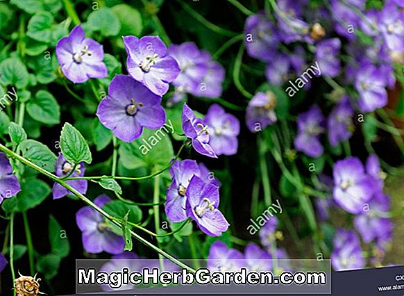 Campanula carpatica (Jewel Bellflower)