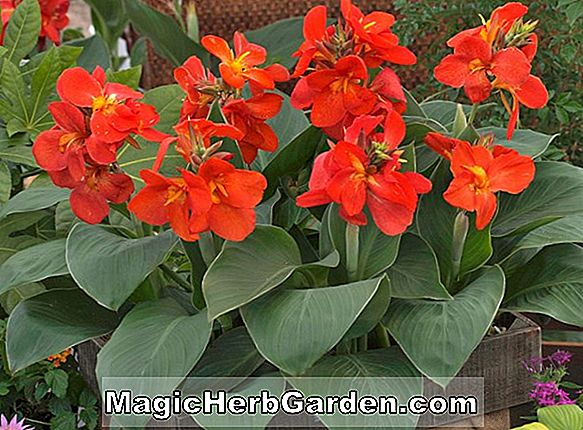 Tumbuhan: Canna (canna 'Tropical Rose')
