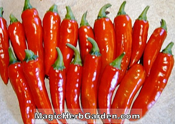 Tumbuhan: Capsicum annuum (Crimson Hot Capsicum Pepper)