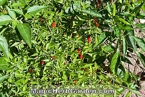 Capsicum annuum (Hot Peppers)