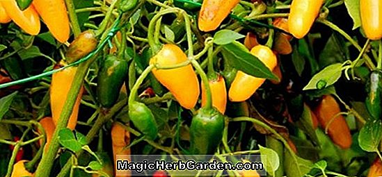 Tumbuhan: Capsicum annuum (Hawaiian Sweet Hot Pepper)