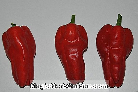 Capsicum annuum (Red Ruffled Capsicum Sweet Pepper)