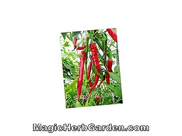 Capsicum annuum (Red Squash Pepper) - #2