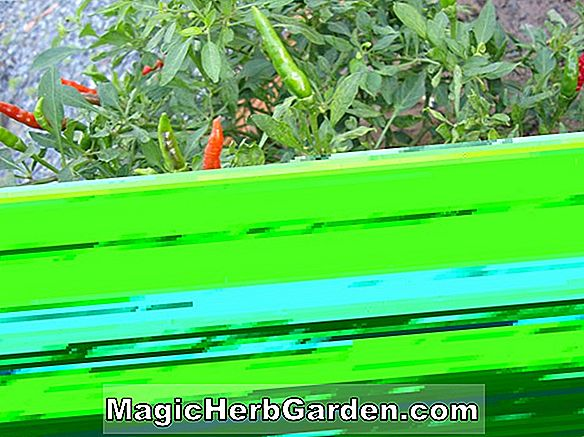 Capsicum frutescens (Grennleaf Tabasco Pepper) - #2