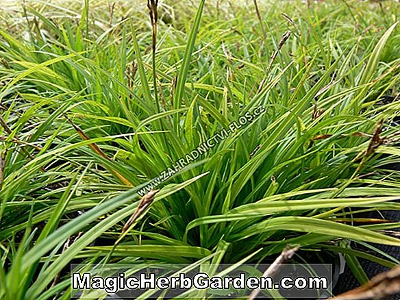 Carex digitata (Fingered Sedge)
