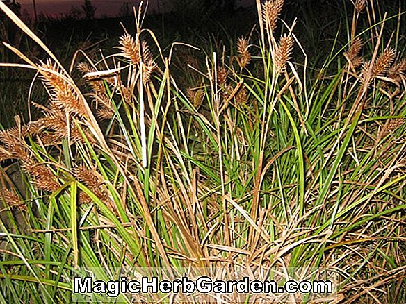 Carex lupulina (Hop Sedge)