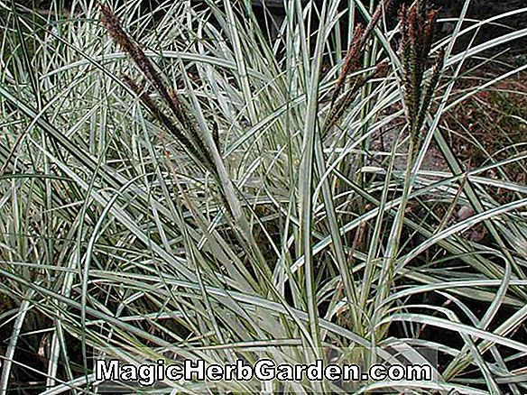 Carex riparia (Variegata Carex Sedge) - #2
