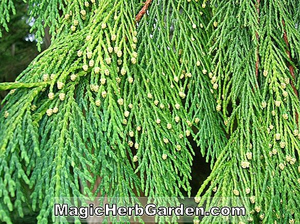 Chamaecyparis lawsoniana (Tilgate False Cypress)