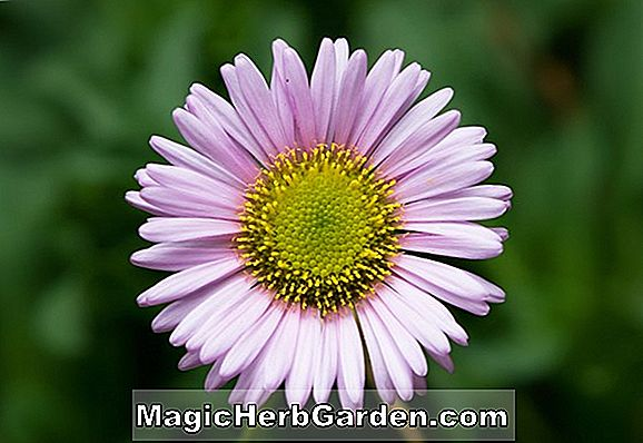 Chrysanthemum (Lilac Moneymaker Chrysanthemum)