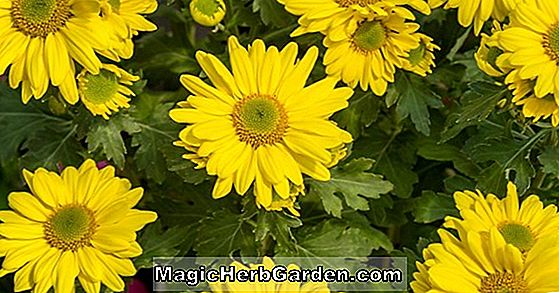 Chrysanthemum (Mary Stoker Chrysanthemum)