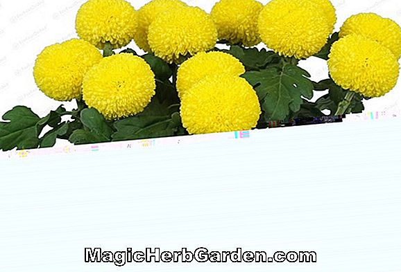 Chrysanthemum (Ping Pong Chrysanthemum)