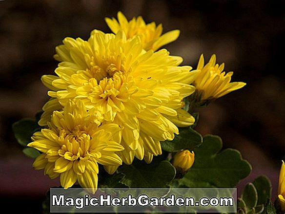 Chrysanthemum (Carillon chrysanthemum)