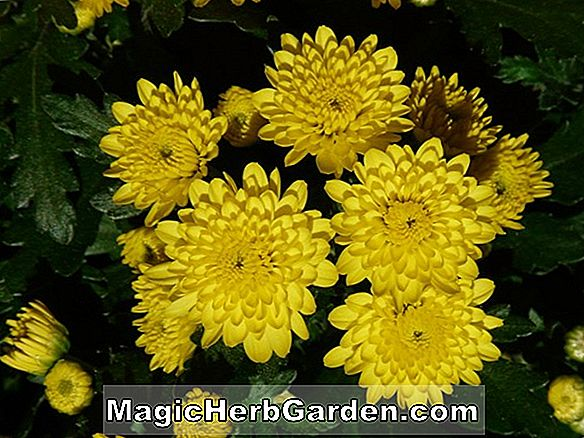 Tumbuhan: Chrysanthemum (Dr. Ira B. Cross chrysanthemum)