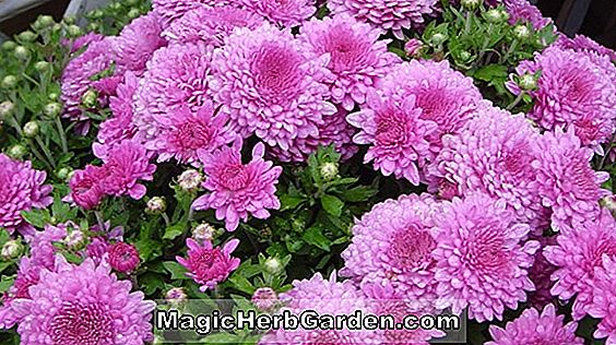 Chrysanthemum (Tolina Chrysanthemum)