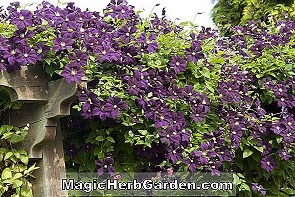 Clematis (Etoile Violette Clematis)