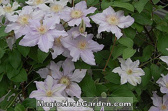 Clematis (Lord Nevill Clematis) - #2