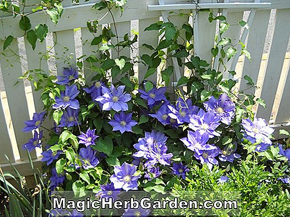 Tumbuhan: Clematis (H.F. Young Clematis)