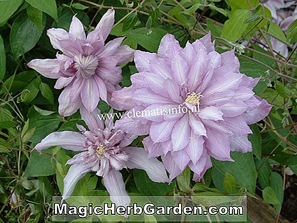 Clematis (Mrs. Spencer Castle Clematis)