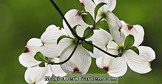 Tumbuhan: Cornus florida (Big Girl Flowering Dogwood)
