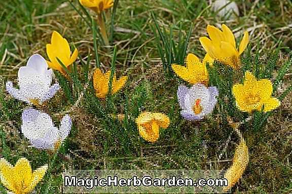 Tumbuhan: Crocus chrysanthus (Advance Crocus)