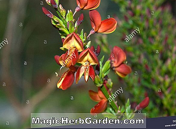 Cytisus scoparius (Burkwoodii Scotch atau Common Broom)