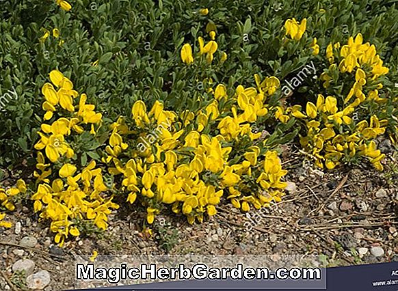 Cytisus decumbens (Prostrate Shrub)