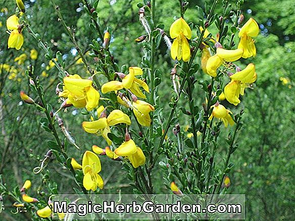 Cytisus scoparius (Cornish Cream Scotch atau Common Broom)