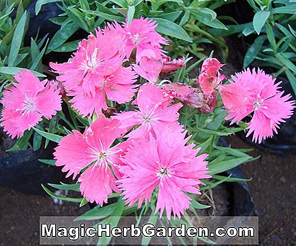 Dianthus chinensis (Indian Pink)