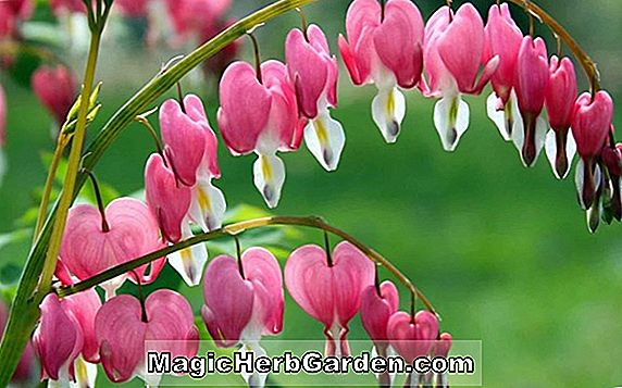 Dicentra (Bleeding Heart)