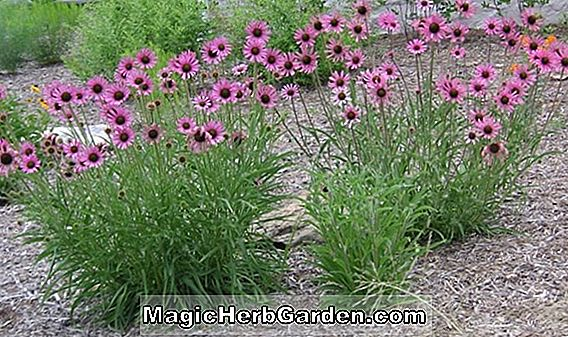 Echinacea tennesseensis (Tennessee Coneflower)