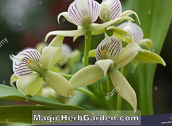 Encyclia fragrans (Encyclia Orchid)