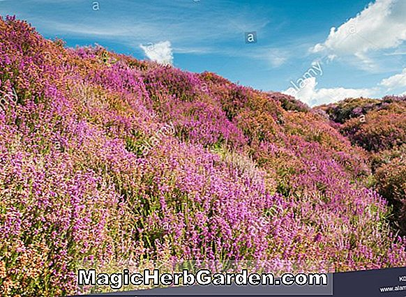 Erica cinerea (Golden Hue Bell Heather) - #2