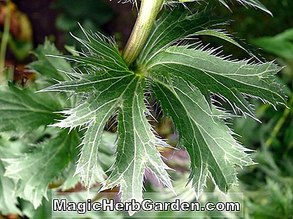 Eryngium planum (Blue Ribbon Flat Sea Holly)