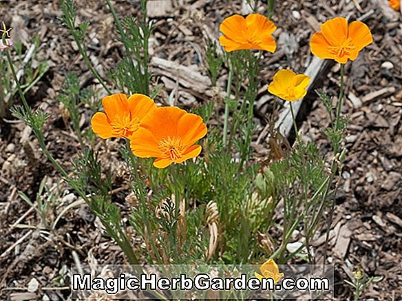 Eschscholzia californica (Thai Silk Series California Poppy)