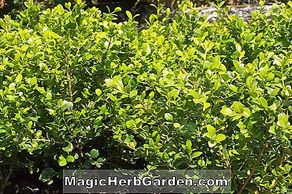 Euonymus japonica (Mycrophylla Japanese Spindle Tree) - #2