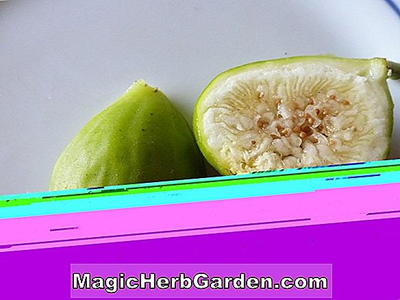 Ficus carica (Latterula White Italian Honey Fig) - #2