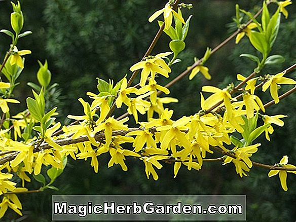 Forsythia ovata (Korean Forsythia)