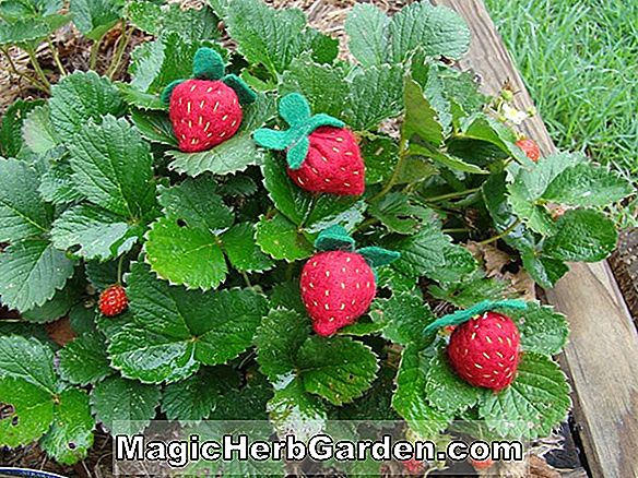 Tumbuhan: Fragaria (Marshall Strawberry)