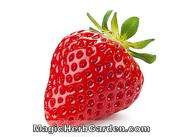 Fragaria (Strawberry Barat Laut)