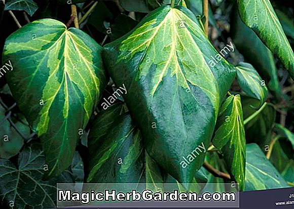Hedera colchica (Sulphur Heart Persian Ivy)
