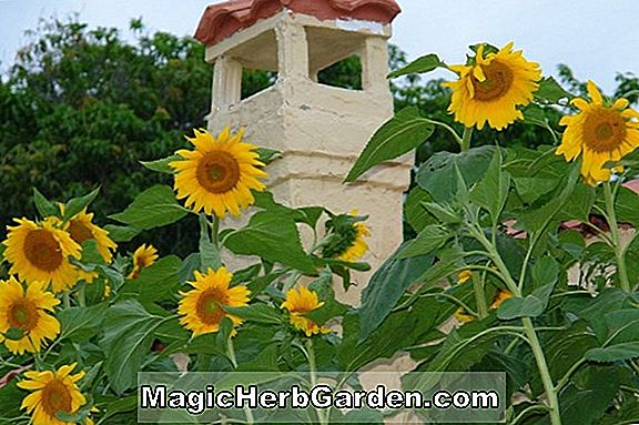 Helianthus annuus (Giant Yellow Sunflower)