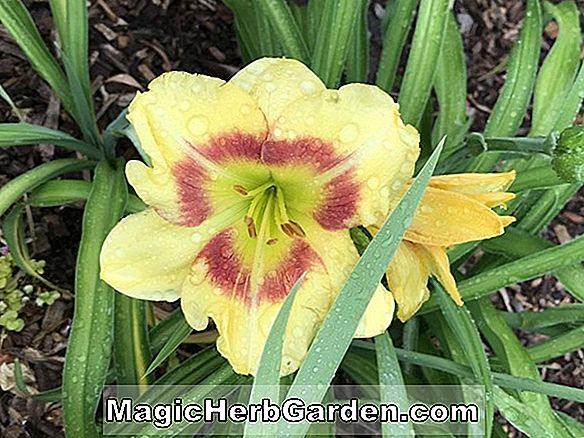 Hemerocallis hybrida (Wings of Chance Daylily)