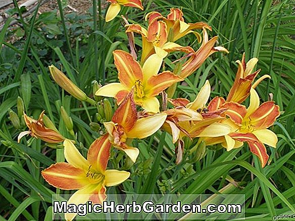 Hemerocallis hybrida (Hope Diamond Daylily)