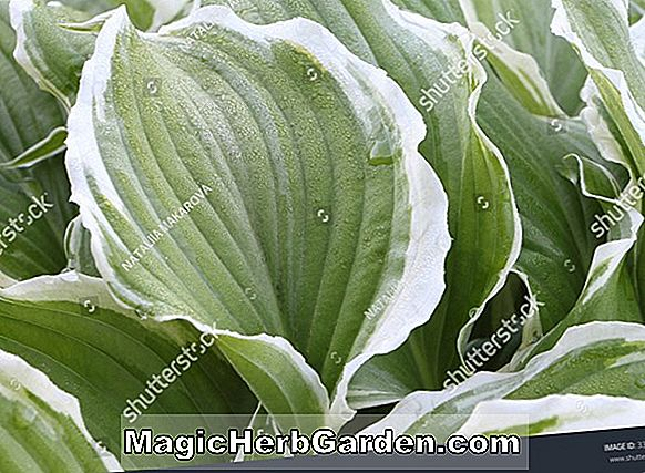 Hosta (Dew Drop Plantain Lily)