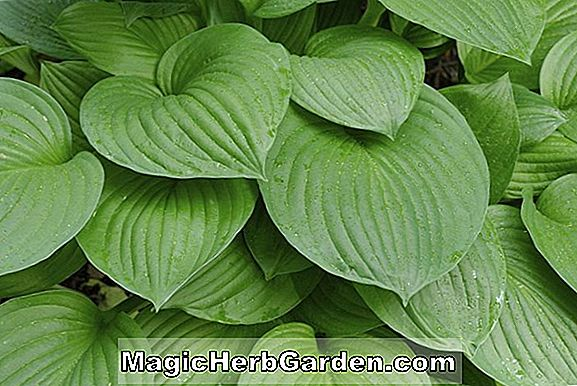 Hosta (Candy Hearts Hosta)