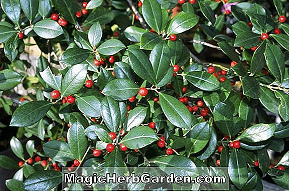 Ilex cassine (Dahoon Holly)