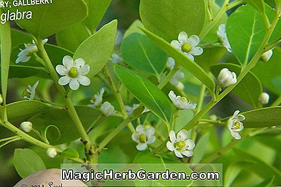 Ilex glabra (Gallberry)