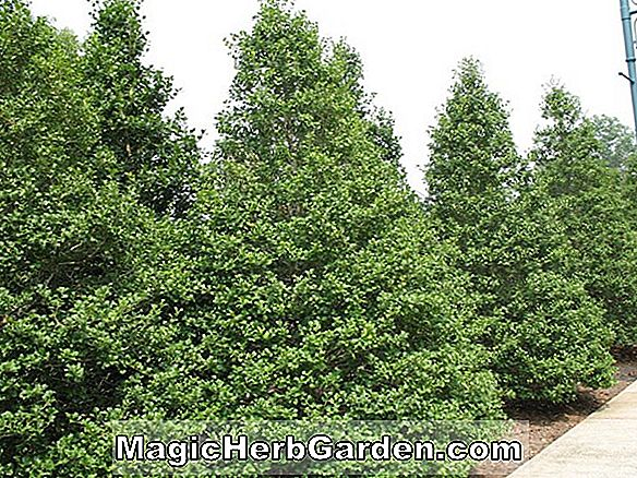 Ilex opaca (Brown # 5 Holly)