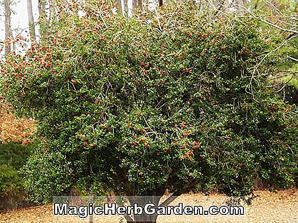 Ilex opaca (Christmas Beauty Holly) - #2