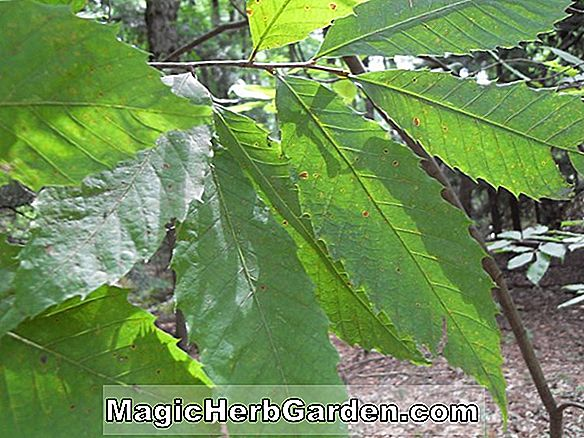 Tumbuhan: Ilex opaca (Maple Swamp)